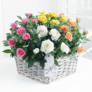 indoor rose plants by post