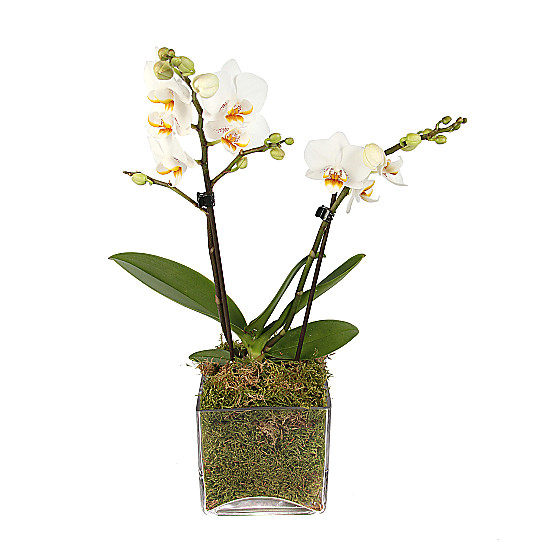 Luxury White Orchid