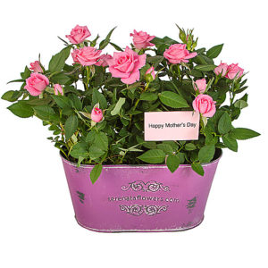 Mother's Day Pink Rose Duo