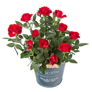 Red Pot Rose