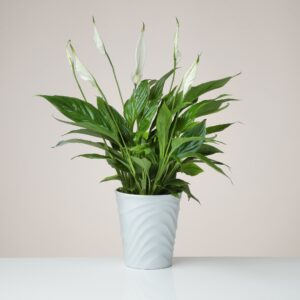 Peace Lily plant in White Ceramic Pot