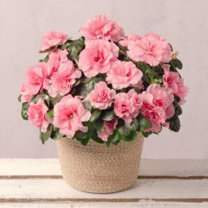Pink Azalea in Jute Pot